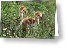 Sandhill Chicks Greeting Card