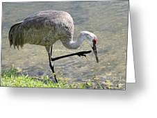 Sandhill Crane Balancing On One Leg Greeting Card by Sabrina L Ryan