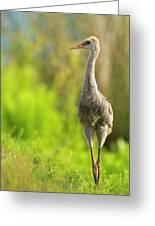 Sandhill Crane Chick, Grus Canadensis Greeting Card