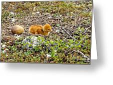 Sandhill Crane Chick Greeting Card