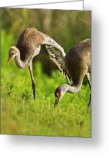 Sandhill Crane Chick Stretching Greeting Card