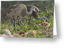 Sandhill Crane Family Greeting Card
