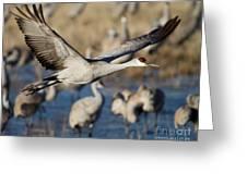Sandhill Crane Lift Off Greeting Card