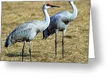 Sandhill Crane Pair Greeting Card