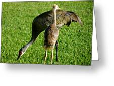 Sandhill Crane With Chick II Greeting Card