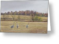 Sandhill Cranes Feeding In Field  Greeting Card by Jymme Golden