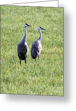 Sandhill Cranes In Wisconsin Greeting Card