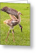 Sandhill Cranes Walking Around Greeting Card