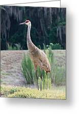 Sandhill Standing Tall Greeting Card