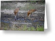 Sandhill Stork Greeting Card