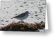 Sandpiper And Seaweed Greeting Card