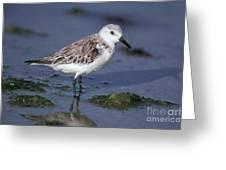 Sandpiper Calidris Mauri Greeting Card