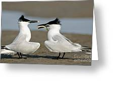 Sandwich Tern Offering Fish Greeting Card