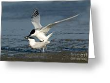 Sandwich Terns Mating Greeting Card