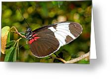Sapho Butterfly Greeting Card