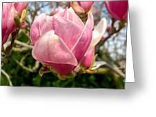 Saucer Magnolia Bloom Greeting Card