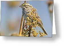Savannah Sparrow  On A Reed Greeting Card