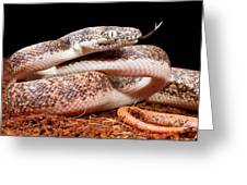 Savu Python In Defensive Posture Greeting Card