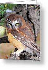 Saw-whet Owl In Conifers Greeting Card