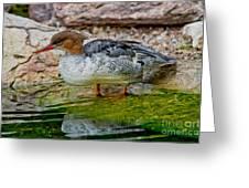 Scaly-sided Merganser Hen Greeting Card
