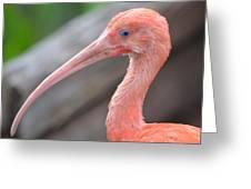 Scarlet Ibis 1 Greeting Card