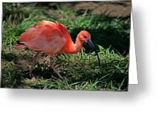 Scarlet Ibis Hybrid Greeting Card