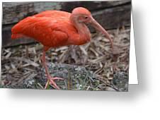 Scarlet Ibis One Legged Pose Greeting Card