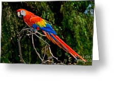 Scarlet Macaw Perched Greeting Card