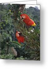 Scarlet Macaws In Rainforest Canopy Greeting Card