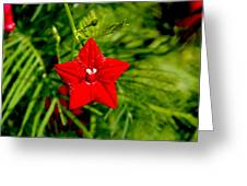 Scarlet Morning Glory - Horizontal Greeting Card