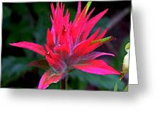 Scarlet Paintbrush On Swiftcurrent Pass Trail In Glacier National Park-montana Greeting Card