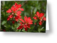 Scarlet Paintbrush. Texas Wildflowers. Castilleja_indivisa Greeting Card