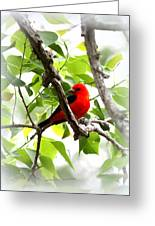 Scarlet Tanager - 19 Greeting Card