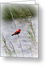 Scarlet Tanager - Coastal - Migration Greeting Card