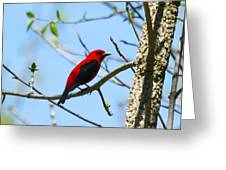 Scarlet Tanager Greeting Card by James Hammen