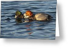 Scaup And Redhead Couple  Greeting Card
