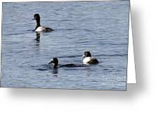 Scaup Ducks In The Spring Greeting Card