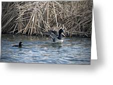 Scaup Show Off Greeting Card