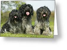 Schapendoes, Or Dutch Sheepdogs Greeting Card