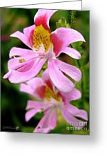 Schizanthus Named Angel Wings Greeting Card