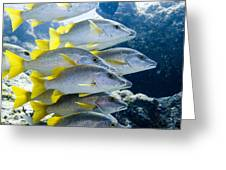 Schoolmaster Snappers Greeting Card