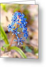 Scilla Bifolia Greeting Card