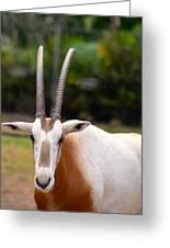 Scimitar Horned Oryx 2 Greeting Card