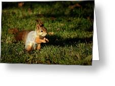 Sciurus Vulgaris In Evening Light Greeting Card