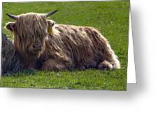 Scottish Highland Cattle 3                          Greeting Card