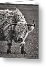 Scottish Highland Cow Greeting Card