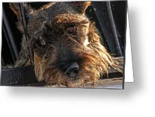 Scottish Terrier Closeup Greeting Card