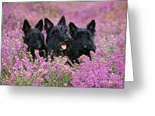 Scottish Terrier Dogs Greeting Card
