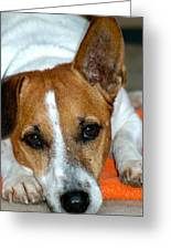 Scrappy The Jack Russell Greeting Card