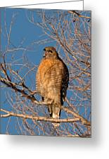 Screeching Red-shouldered Hawk Greeting Card